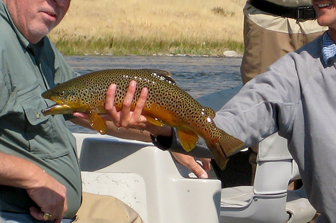 Big Brown Trout-Lower Madison River, Montana