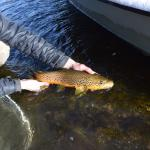 Releasing nice Brown trout on the Madison river.