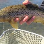 Another nice Brown trout being released on the Madison river.