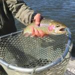 Madison river Rainbow trout