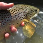 Releasing large brown trout