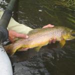 Jefferson river Brown trout