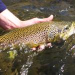 Close up of Yellowstone river Brown trout